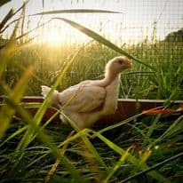 Pasture Raised Poultry early morning outside humanely raised