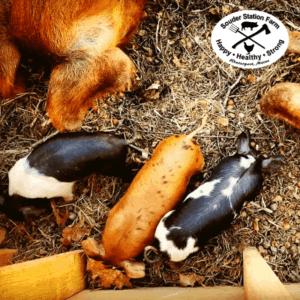 Acorn Fed Pigs Souder Station Farm
