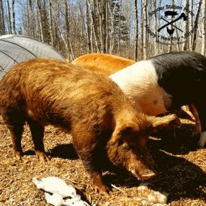 Benny Tamworth Sugar Mountain Farm Boar